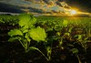 Rapeseed. Brassica napus in evening light. Stack of 12 photos (KlavsNielsen) Tags: field sunset evening backlight bornholm denmark agriculture rapeseed closeup stacking stack