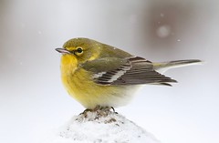 Pine Warbler (Mary Sonis) Tags: