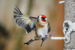Pit Stop (shaftina©tion) Tags: cardueliscarduelis europeangoldfinch goldfinchcardueliscarduelis avian bird birdfeeder colorful colourful feathers finch flight flying goldie inflight landing onthewing passerine paulfarnfieldcom pretty redfaced small whimsical wings yellowwingbar