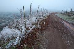 saar winter 3 (Denkrahm) Tags: denkrahm saar vineyards winter schleife wiltingen kanzem