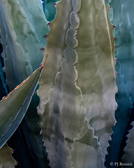 Blue Agave (PJ Resnick) Tags: cathedralcity perryjresnick pjresnickgmailcom ©2017pjresnick ©pjresnick pjresnick nature light fuji fujifilm noir atmosphere atmospheric digital shadow texture shadows angle perspective naturallight xf fujinon resnick soft design plant depthoffield black fujixpro2 xpro2 pattern bokeh blur blurry rectangle rectangular color colour green yellow outdoor 56mm fujinon56mmf12 56mmf12 california desert colors colours subtle blue agave blueagave abstract 4x6 depth pjresnickphotographygmailcom