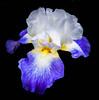 _1211157 (5816OL) Tags: arboretum arboretum2016 iris flowers dad