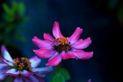 Lovely (Rajavelu1) Tags: flowers colours beauty beautyofnature art artwork creative canonef100mmf28macroisusmlens canon60d macrophotograph
