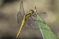 Female Red-faced Dragonlet, Erythrodiplax fusca (PriscillaBurcher) Tags: femaleredfaceddragonlet erythrodiplaxfusca dragonlet odonata dragonfly libélula libellulidae colombia l1170257