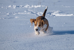 Beagle dog running in the snow (androsoff) Tags: beagle brown cute dog ears eyes field friend funny meadow sun white winter animal background beautiful breed canine clean cold doggy domestic environment frost fun head hound hunting look mammal nobody nose one outdoor park pedigree pet play playful portrait pure purebred reflection run shadow snow young