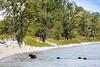 Black bear, Waterton NP,  Canada (Manuel ROMARIS) Tags: alberta blackbear watertonnp
