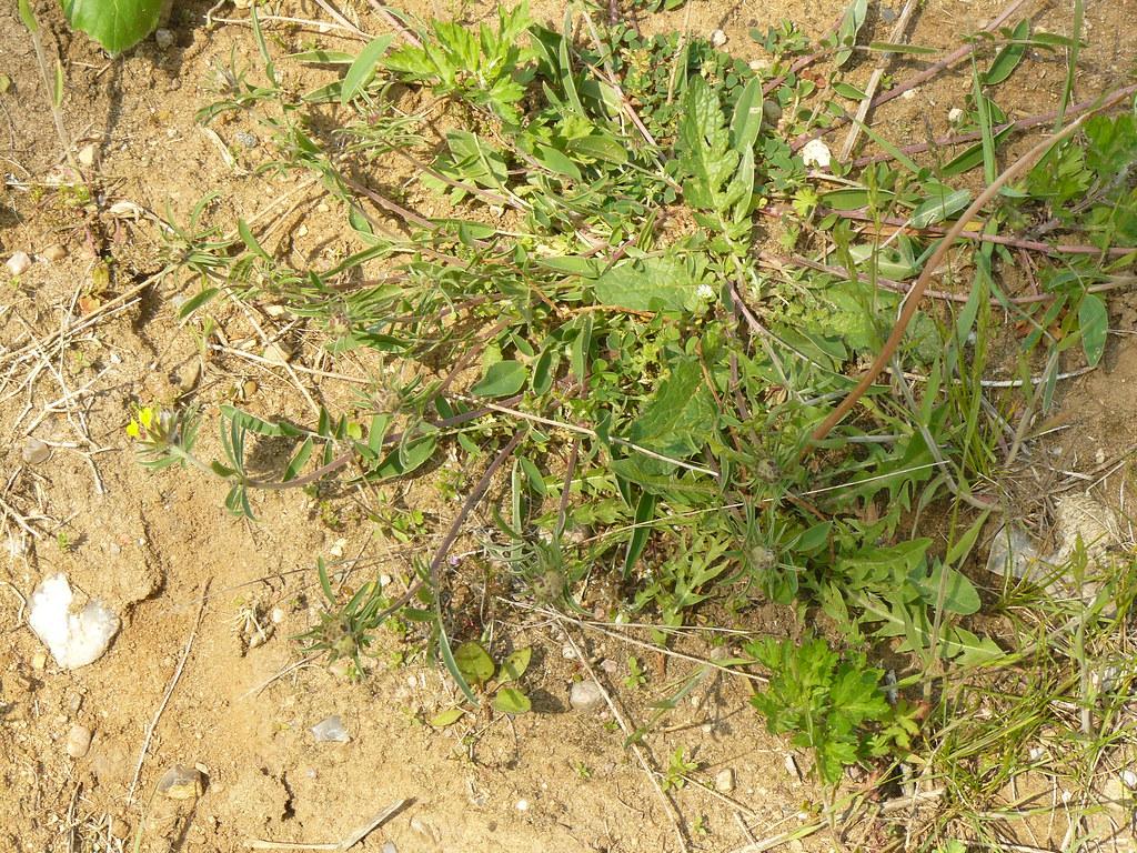 Anthyllis vulneraria- Wundklee3