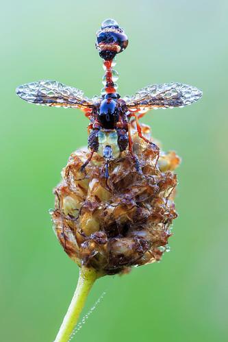 Conopidae IV