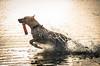 lab4 (Jen MacNeill) Tags: assateague dog lab labrador retriever water fetch bay