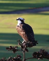 Osprey surveys the scene (Victoria Morrow) Tags: