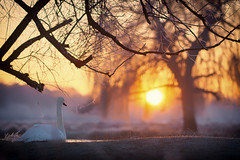 The Long Wait (paulinuk99999 (really busy at present)) Tags: paulinuk99999 sunrise swan bushypark london wildlife frost coldmorning january2017 winter willow tree sal135f18za