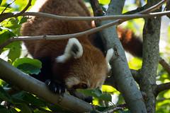 Taronga Zoo (Jeremy Denham) Tags: zoo anamals tarongazoo redpanda