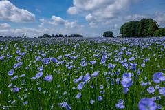 Pays de Caux,pays du lin (amateur72) Tags: fleurs champs fujifilm lin paysage printemps paysdecaux fleursetplantes xt1 xf1855mm
