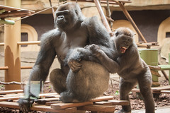 2015-05-03-13h26m30.BL7R5424 (A.J. Haverkamp) Tags: france zoo gorilla frankrijk dierentuin bangui lapalmyre poitoucharentes westelijkelaaglandgorilla nyuki canonef70200mmf28lisusmlens lesmathes poblesmathesfrance dob28121989 dob25062009 httpwwwzoopalmyrefr