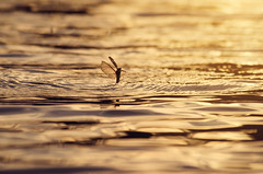 Yeehaw, I'm a mayfly :) (Pásztor András) Tags: sunset reflection nature water river insect photography nikon hungary mayfly andras tisza pasztor d5100
