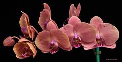 Phalaenopsis Shu Long Golden Apple (ACEZandEIGHTZ) Tags: plant orchid flower nikon phalaenopsis potw doublefantasy enchantedgarden floralfantasy d3200 flickrsawesomeblossoms awesomeblossoms thebestofmimamorsgroups flowerthequietbeauty phalshulonggoldenapple