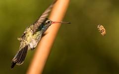 Formidable Foe (sunrisesoup) Tags: usa hummingbird tucson az bee maderacanyon standoff broadbilled sunrisesoup