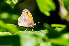 Meadow Brown Butterfly (Maniola jurtina) (BiteYourBum.Com Photography) Tags: wood uk greatbritain england brown apple forest butterfly unitedkingdom meadow reserve surrey gb canonef1740mmf4lusm allrightsreserved meadowbrown ipad maniolajurtina chiddingfold focusstacking macpro canonefs60mmf28macrousm oaken sssi meadowbrownbutterfly biteyourbum oakenwood canoneos7d appleipad lrenfuse dawnandjim canonspeedlite430exii sigma50500mmf4563dgoshsm loweproprorunner350aw lightroom5 chiddingfoldforest biteyourbumcom dawnjim camranger oakenwoodbutterflyreserve copyright©2015biteyourbumcom copyright©biteyourbumcom