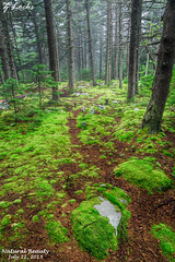 Natural Beauty- July 22, 2015 (zachary.locks) Tags: morning trees green wet beauty rain forest moss sticks woods natural hiking foggy hike dirt wv westvirginia spruceknob cy365 zlocks