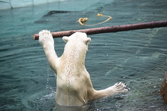 polar bear (floridapfe) Tags: nature animal zoo korea polarbear everland