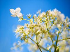 """Hydrangea... again"" (helmet13) Tags: summer flower sunshine flora raw bright blossom bokeh bluesky selectivefocus aoi hydrangeapetiolaris 100faves peaceaward heartaward world100f d800e"