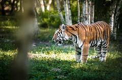 Parc des Felins (thepixbook) Tags: animal nikon sigma 70200 tigre d7000