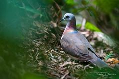 Caribbean Dove-4950 (Frantz Delcroix) Tags: nature birds jamaica sanctuary rocklands birdsandnature bcphotocontest2015