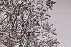 A Little Red (Photography by C.T. Ware) Tags: 2016 adirondack adirondackmountains adks bird cardinal mountains newyork snow wild wildlife winter