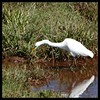 Egret in tea marsh (Indianature st2i) Tags: valparai tamilnadu tea teaestate indianature india indiragandhiwildlifesanctuary westernghats anamalaitigerreserve anamalais anamallais anaimallais anamalaiwildlifesanctuary 2016 2017