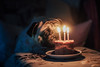 Birthday Girl (You Fight Me) Tags: indoor room birthday cake candle candles canon canon60d 60d 50mm f14 dog pug