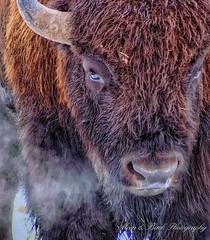 BREATH OF A BUFFALO ... (Aspenbreeze) Tags: bison buffalo wildbison wildanimal wildlife bisonbreath breath buffalobreath nature outdoors winter horn steam fur wyomingwildlife bevzuerlein aspenbreeze moonandbackphotography