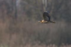 Flickr-4247 (fix.68) Tags: butorétoilé oiseau