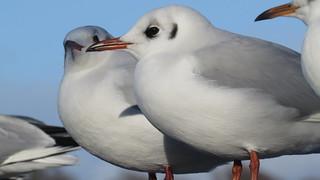Black headed Gull close up (1)