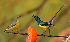 Nile valley sunbird, Hedydipna metallica (ammadoux) Tags: hedydipnametallica hedydipna metallica sunbird nilevalleysunbird jeddah jeddahbirds |birds saudi arabia ammadoux تميرواديالنيل التميرات