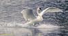 Ta Da!! (danielusescanon) Tags: lakeartemesia trumpeterswan cygnusbuccinator wild landing lake birdperfect anseriformes anatidae outstretchedwings