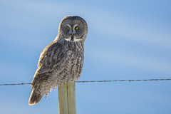 Great Grey Owl (Peter Stahl Photography) Tags: greatgrayowls greatgreyowl owl winter hunting fencepost