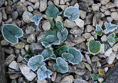Frost (Owl Prints) Tags: mygarden frost foliage winter scree violets