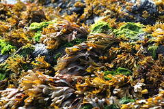 Seaweed covering rocks at low tide, Frank Island, Chesterman Beach, Vancouver Island, BC (Jim 03) Tags: sand spit chesterman beach frank island accessible low tide pacificrimnationalparkvancouverisland starfish green sea anemone seaweed dungeness crab jim03 jimhoffman jhoffman jim wwwjimahoffmancom wwwflickrcomphotosjhoffman2013