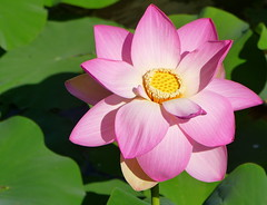 Water Lily on the lake...