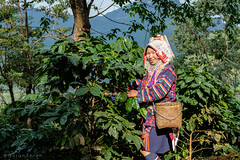 Chiengrai, Thailand (Goran Bangkok) Tags: chiengrai thailand akha hilltribe people coffee plantation culture green