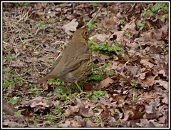 Song Thrush (postman.pete) Tags: heron wednesday ride robins gull black thrush frame wivenhoetrail duck wagtail tufted red shank goosander ice lumix