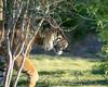 Stalking (Laveen Photography (aka cyclist451)) Tags: laveenphotography photograph photography az arizona douglaslsmith phoenix phoenixzoo cyclist451 landscape naturalsetting nature photographer wwwlaveenphotographycom zoo unitedstates us animals wildlife tiger stalkingtiger