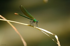 Elégance (jpto_55) Tags: insecte demoiselle odonate macro bokeh xe1 fuji fujifilm fujixf55200mmf3548rlmois hautegaronne france