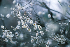 20160206-IMG_4873 (nut_cookie) Tags: flower flowers nature macrophotography plumblossoms