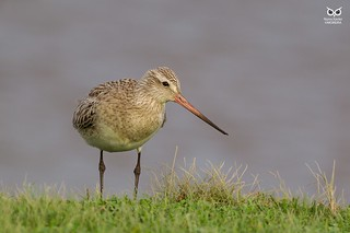 Fuselo, Bar-tailed godwit (Limosa lapponica)