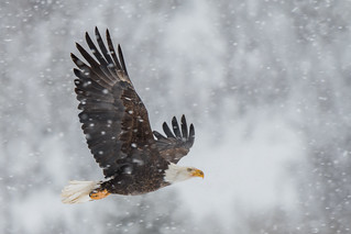 Bald Eagle in Snowstorm