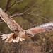 Ferruginous Hawk 007