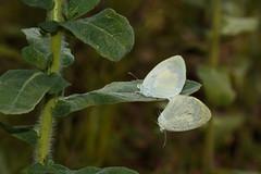 Barred Sulphur (Eurema daira), High Springs, Florida (kmalone98) Tags: butterflies whitesandsulphurs barredyellow