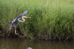 Great Blue Heron (jordanhiggins) Tags: bird wildlife greatblueheron defendersofwildlife d7200