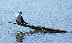 Cormorant (iansand) Tags: bird waterbird cormorant waterfowl homebushbay littlepiedcormorant